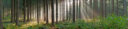 Panorama landscape of forest in the mist with sun rays.