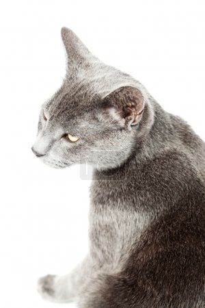 Grey kitten isolated on white background. European short hair. Studio shot.