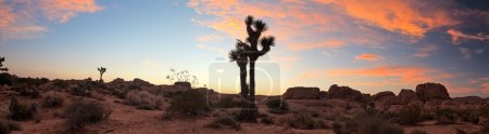 Panorama landscape of Joshua Tree National Park at sunset, USA.