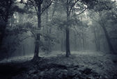 Oak trees in a forest with fog