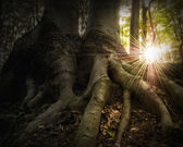 Roots of a tree in a forest with the sun at sunset
