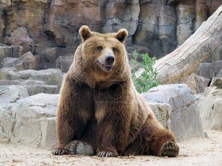 Looking at us smiling brown bear