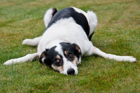 Tired farm dog