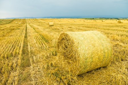 Photo for Yellow field after harvesting with stacks of collected wheat - Royalty Free Image