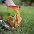 Close Up of hands with safety gloves and garden tool pulling and digging out weeds from the lawn.
