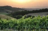 Italian Chianti wine grapes at sunset landscape