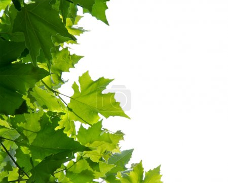 Maple tree leaves isolated on white background