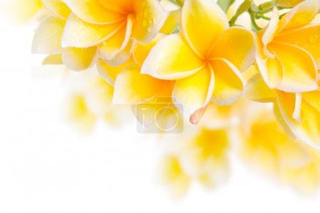 Photo pour Frangipani fleur peut être utilisé pour l'élément de conception - image libre de droit