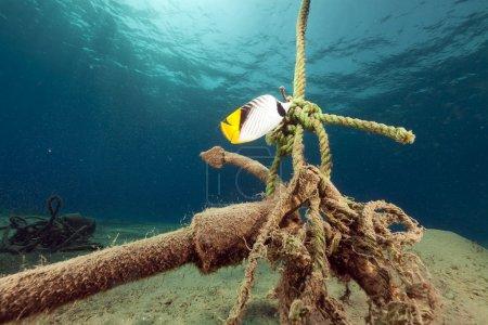 Photo pour Threadfin butterflyfish dans la mer Rouge . - image libre de droit