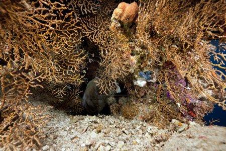 Photo pour Murène géante et corail - image libre de droit