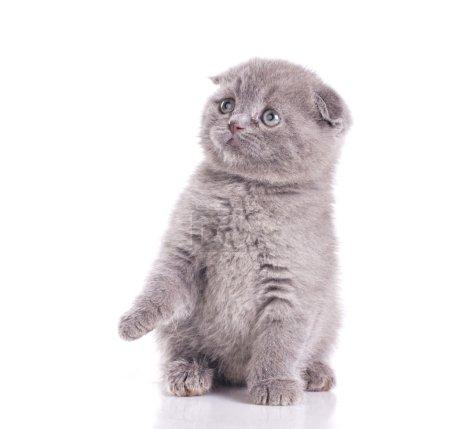 Little gray british kitten