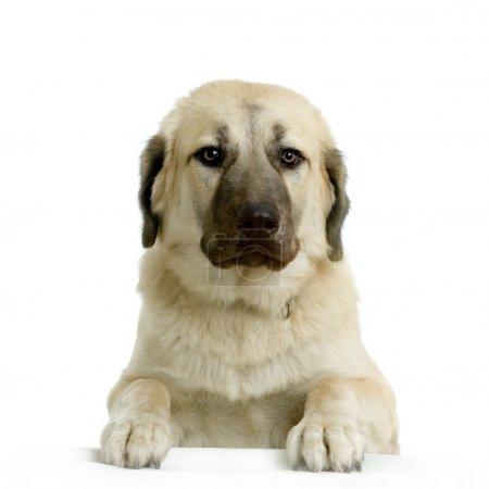 Anatolian Shepherd Dog in front of white background