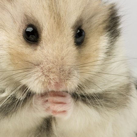 Photo pour Gros plan d'un hamster coupe devant un fond blanc - image libre de droit