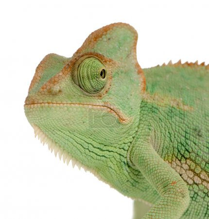Photo for Close-up on a Yemen Chameleon in front of a white background and seems to look at the camera - Royalty Free Image