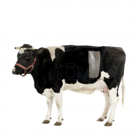 Cow in front of a white background. We can see the...