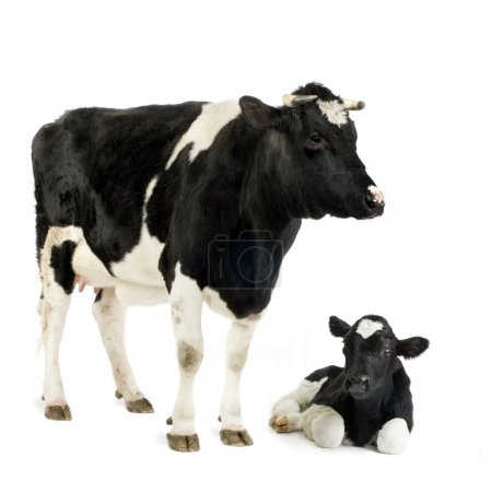 Calf and his mother in front of a white background...