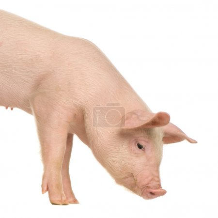 Pig in front of a white background...