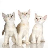 Kiten krátkosrstá habešský kočka