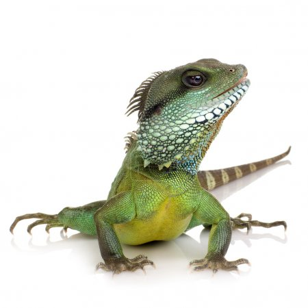 Bearded Dragon in front of a white background...