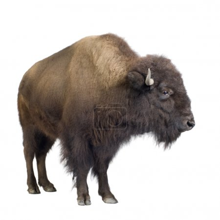Bison in front of a white background...