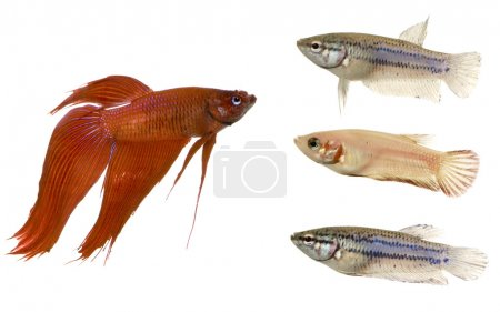 Male and Female Siamese fighting fish