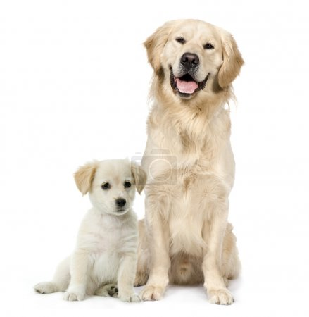 Golden Retriever and a Labrador puppy sitting in front of white