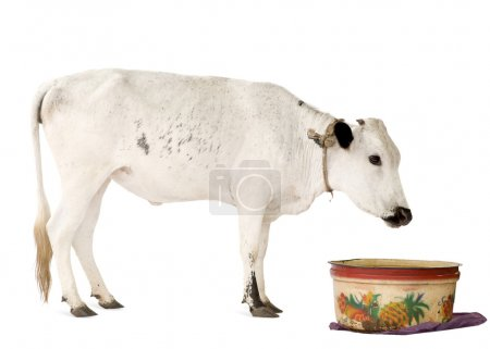 Cows from Benin in front of a white background...