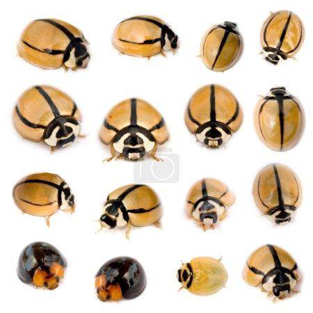 Photo pour Ladybirds striés, noirs et jaunes devant un fond blanc - image libre de droit