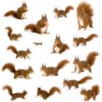 Eurasian red squirrel - Sciurus vulgaris (2 years)...