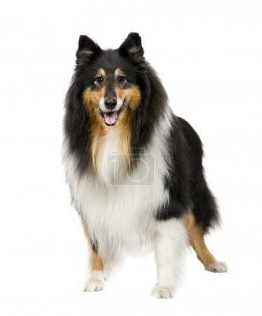 Photo pour Rough Collie (9 years) in front of a white background - image libre de droit