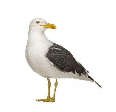 Herring Gull - Larus argentatus (3 years)