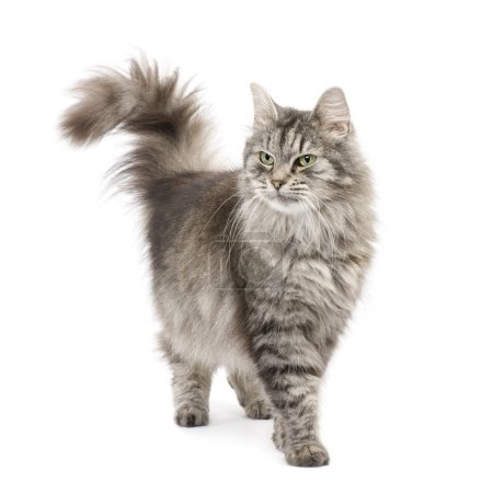 Photo for Crossbreed Siberian cat et persian catin front of a white background - Royalty Free Image