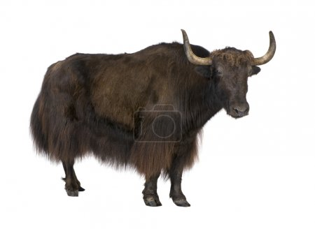 Yak in front of a white background