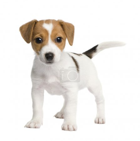 Puppy Jack russell (7 weeks) in front of a white b...