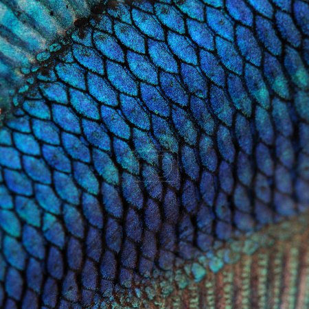 Close-up on a fish skin - blue Siamese fighting fish