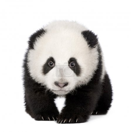 Photo for Giant Panda (4 months) - Ailuropoda melanoleuca in front of a white background - Royalty Free Image