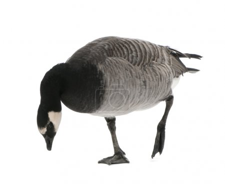 Mixed-Breed goose between Canada Goose - (Branta c...