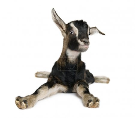 Young Goat (3weeks old) in front of a white background