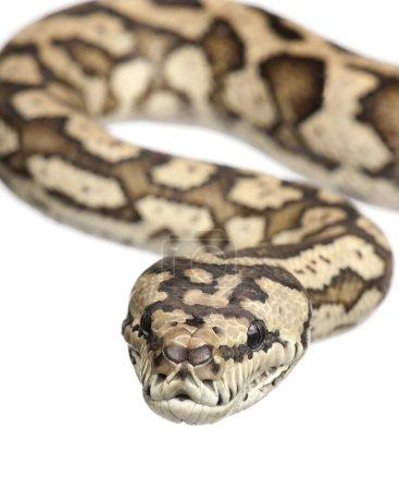 Carpet python - Morelia spilota variegata in front...