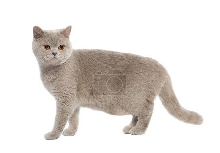 Photo pour British Shorthair chaton (8 mois) devant un fond blanc - image libre de droit