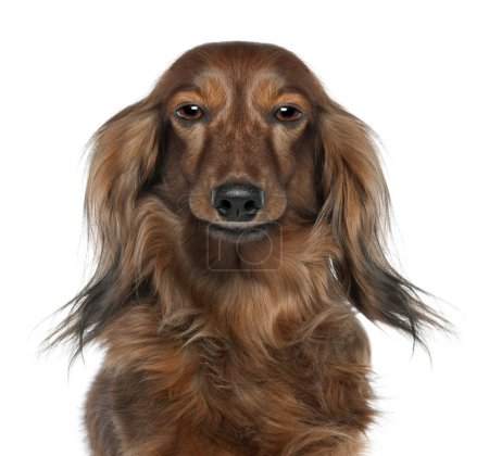 Close-up of a Dachshund's head looking at the camera (7 years o