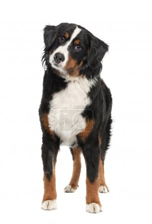 Bernese mountain dog (14 months old)