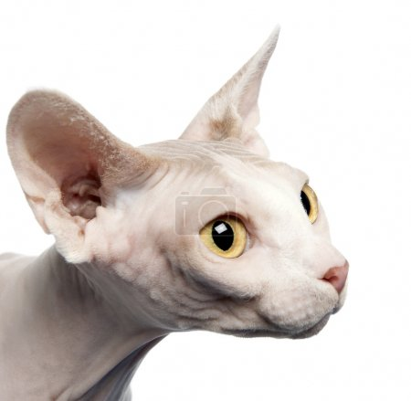Side view of Sphynx cat, 4 years old, in front of white background, studio shot