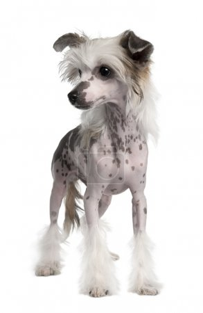 Hairless Chinese Crested dog, 3 years old