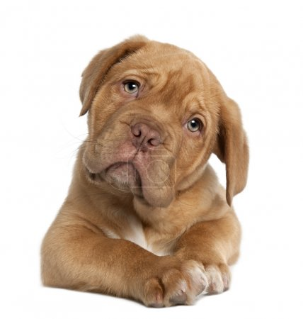 Photo for Dogue de Bordeaux puppy, 10 weeks old, lying in front of white background - Royalty Free Image