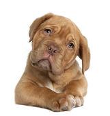 Dogue de Bordeaux Welpen, 10 Wochen alt, liegend vor weißer Hintergrund