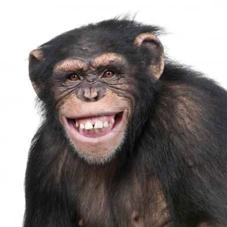 Photo pour Young Chimpanzee - Simia troglodytes (6 years old) in front of a white background - image libre de droit