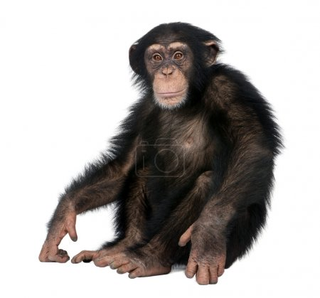 Photo pour Young Chimpanzee - Simia troglodytes (5 years old) in front of a white background - image libre de droit