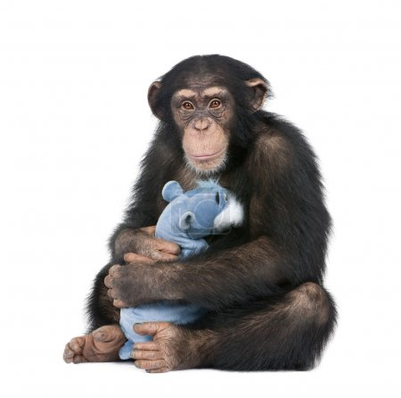 Photo pour Young Chimpanzee with his teddy bear - Simia troglodytes (5 years old) in front of a white background - image libre de droit