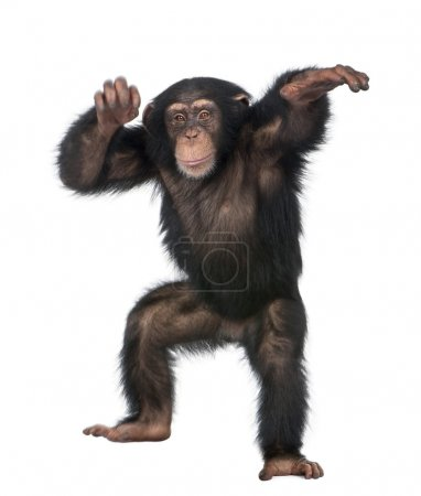 young chimpanzee dancing